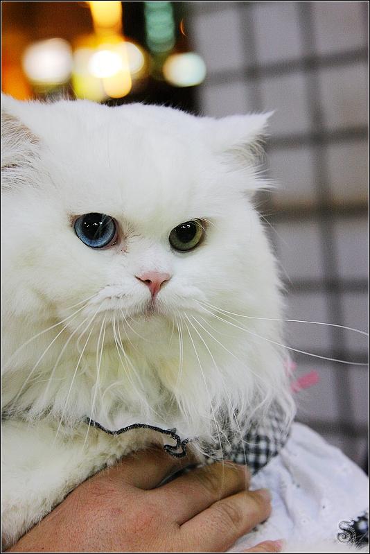 麻糬: 我是雙瞳貓喔!