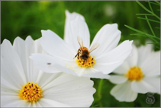 辛勤的蜜蜂採著花蜜,絲毫不受任何影響