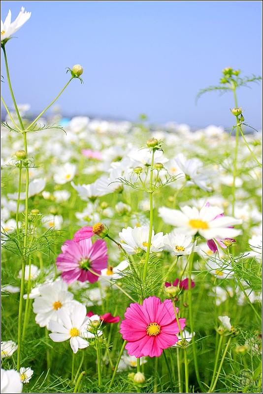 白色花叢間突然出現不同顏色的花,有些突兀卻有不同之美