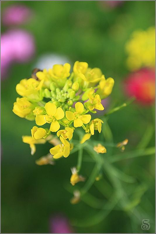 在花朵後方有一隻蜜蜂躲著採蜜,有夠難抓啊!