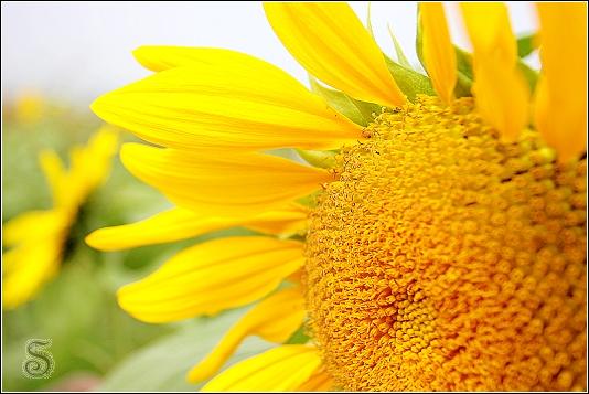 向日葵,可惜現在沒有太陽,顏色淡了好多