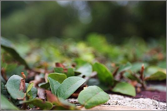 蜿蜒在牆上的藤蔓